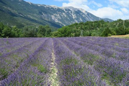 Bild: Lavendelfeld mit Blick auf den Mont Ventoux