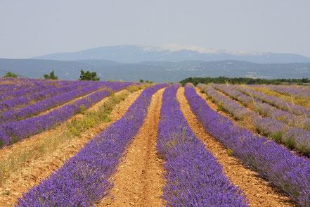 Bild: Lavendeltour oberhalb Bonnieux