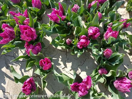 Bild: Tulpenfelder bei Jonquiéres, Vaucluse, Provence