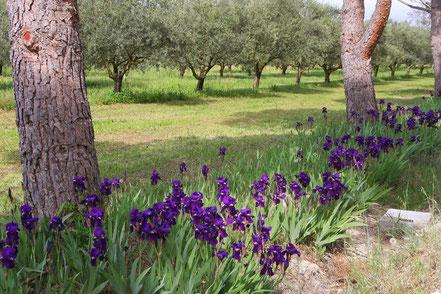 Frühjahr in der Olivenbaumplantage