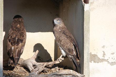 Bild: zwei Schlangenadler im Parc ornithologique de Pont-de-Gau