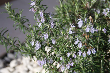 Bild: Blühender Rosmarin, Provence