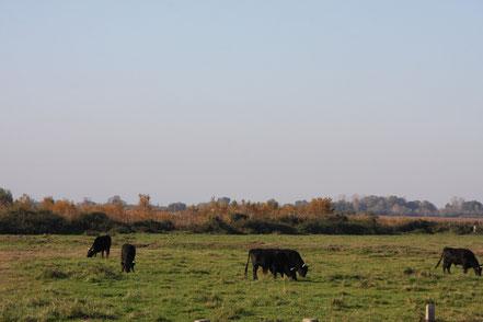 Bild: Stiere in der Provence