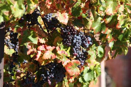 Bild: Weinberge in der Provence