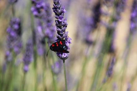 Bild: Lavendeltour hier Lavendelblüte mit Insekt