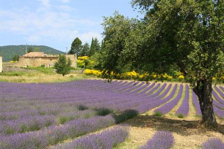 Bild: Lavendeltour hier bei Aurel