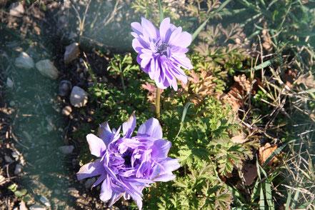 Bild: auch im Winter blüht es in der Provence