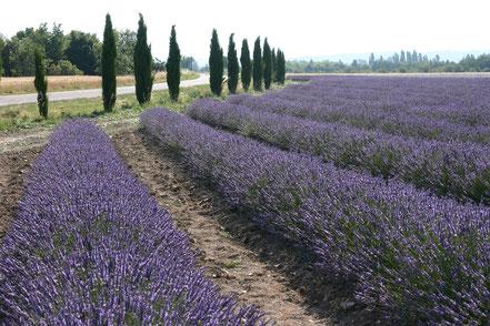 Bild: Lavendeltour hier bei Roussillon