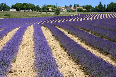 Bild: Lavendelroute zwei unterschiedliche Sorten Lavendel