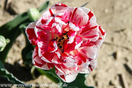 Bild: Tulpenfelder bei Niozelles in der Provence