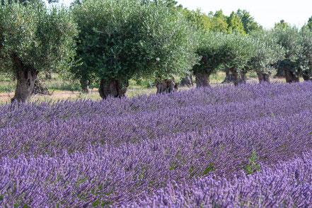 Bild: Lavendeltour hier bei Lagnes