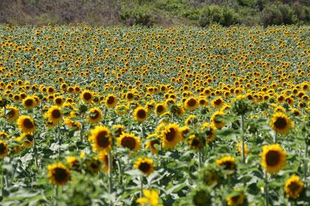 Bild: Sonnenblumen in der Provence