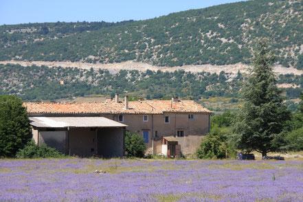 Bild: Lavendelfeld bei Sault, Hintergrund Straße auf den Mont Ventoux