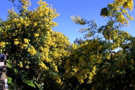Bild: Mimosenblüte in Bormes-les-Mimosas