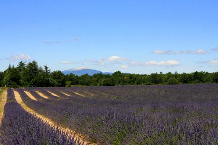 Bild: Lavendeltour zwischen Banon und Sault
