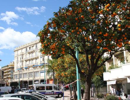 Bild: Orangenbaum in Menton