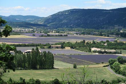 Bild: Lavendelfelder zwischen Aurel und Sault