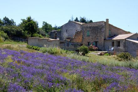 Bild: Lavendeltour mit Lavendelfeld und Farm im hintergrund