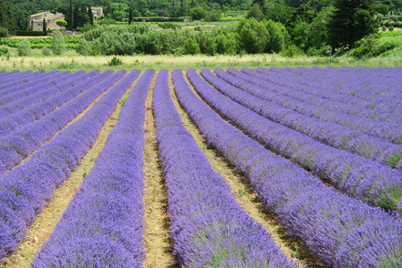 Bild: Lavendeltour hier bei Bonnieux
