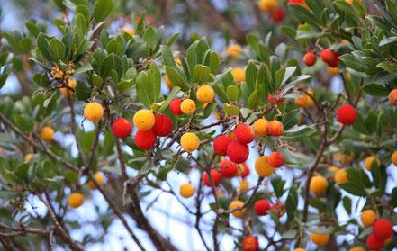 Bild: Erbeerbaum in Les Taillades