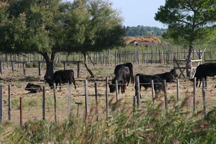 Bild: Stiere in der Camargue