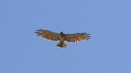 Bild: Adler im Luberon