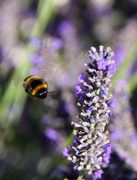 Bild: Biene am Lavendel
