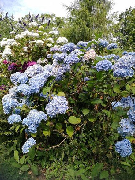 Bild: Hortensie in Jardin Shamrock bei Varengeville-sur-mer in der Normandie