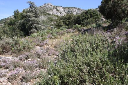 Bild: Blühender wilder Thymian in der Provence