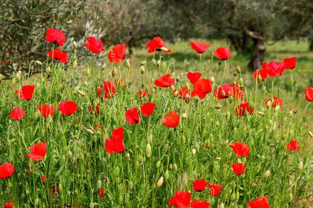 Bild: Frühling in Maubec auf den Olivenfeldern