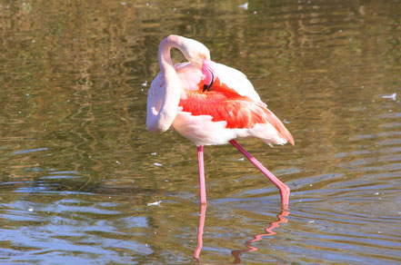 Bild: Flamingo in der Camargue