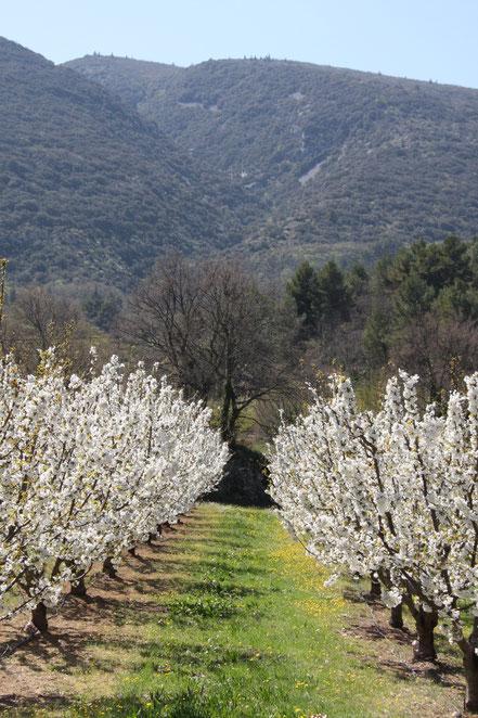 Bild: Kirschbaumblüte in Bonnieux