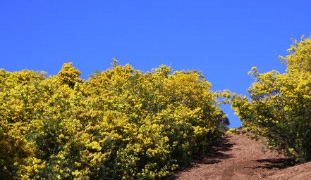 Bild: im Mimosenwald im Tannerongebirge