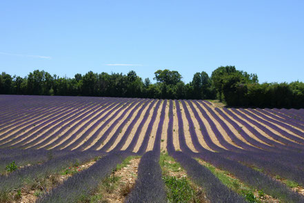 Bild: Lavendeltour hier zwischen Banon und Sault