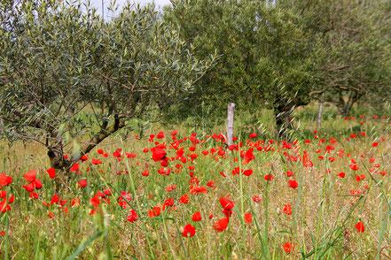 Frühjahr in der Olivenbaumplantage im Vaucluse