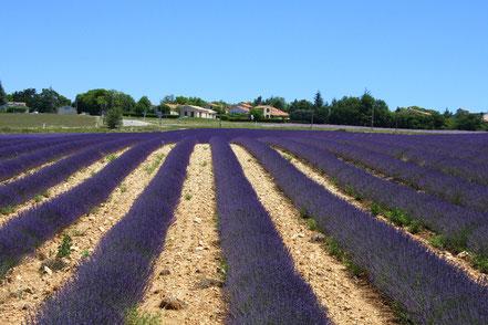 Bild: Lavendelroute hier vor Revest du Bion
