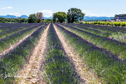 Bild: Lavendelfeld bei Grignan