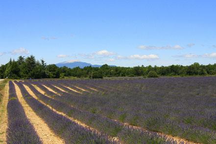Bild: Lavendelfeld bei Revest du Bion