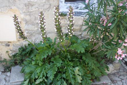 Bild: Blume in der Altstadt von Vaison-la-Romaine