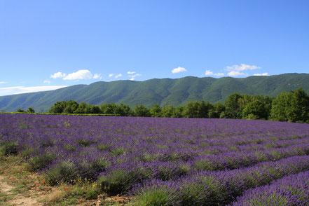 Bild: Lavendeltour mit Blick auf den Luberon
