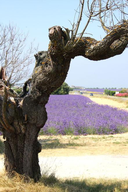 Bild: Lavendeltour hier Plateau Valensole