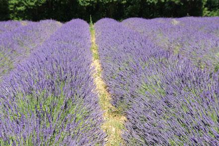Bild: Lavendelfeld