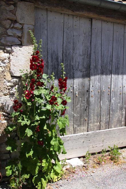 Bild: Malvenblüte in Revest du Bion