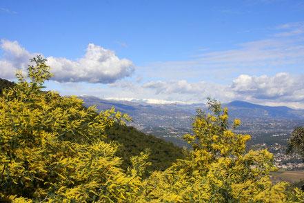 Bild: Im Vordergrund gelbe Mimosenblüte im Hintergrund die schneebedeckten Berge der Voralpen