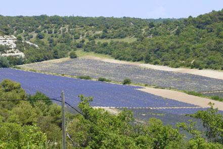 Bild: Lavendelfeld bei Bonnieux, Vaucluse