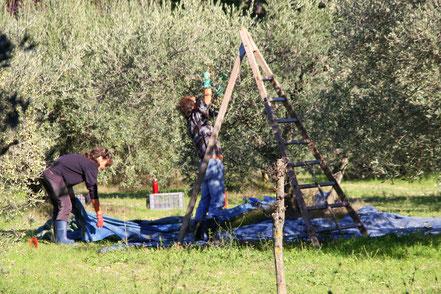 Bild: Olivenernte bei Saint-Remy-de-Provence