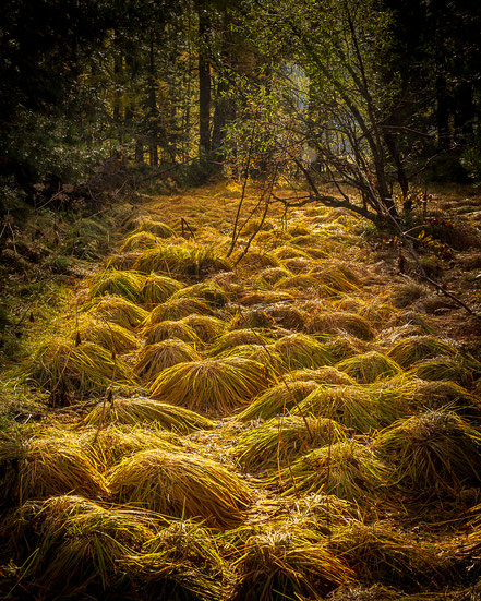 Gelbe Grasbüschel im Wald auf der Halbinsel Chastè im Silsersee