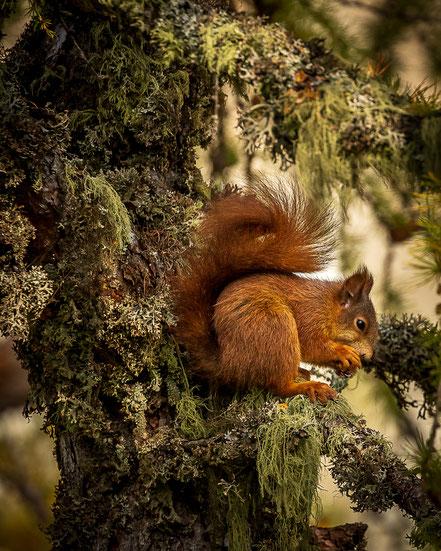 Ein Eichhörnchen knabbert Nüsse auf einem Baum auf der Halbinsel Chastè