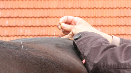 Akupunktur am Pferd - Mobile Tierheilpraxis Rüth