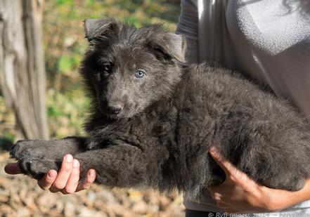 puppy blue german shepherd for sale - chiot altdeutsche bleu 200€ 300€ 400€ pas cher